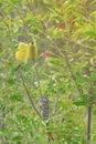 Australian native Banksia in Flower Royalty Free Stock Photo