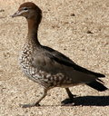 Australian Native Duck Royalty Free Stock Photography