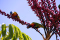 Australian native fauna rosella rainbow lorikeet parrot birds in umbrella plant tree eating red berries fruit in autumn taken in Royalty Free Stock Image