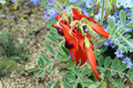 Australian  Native Wildflower Sturt's Desert Pea Royalty Free Stock Images
