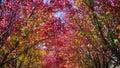 Australian ornamental pear trees