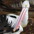 Australian pelican potrait Stock Image
