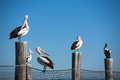 Australian pelicans perched on posts and net Stock Image