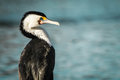 Australian pied cormorant drying sunlight centennial park sydney Stock Photo