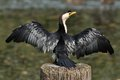 Australian Pied Cormorant Drying Wings Stock Images