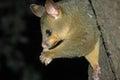 Australian possum eating a piece of fruit Royalty Free Stock Photo