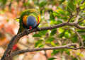 Australian rainbow lorikeet on the branch Stock Images