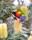 Australian rainbow lorikeet in tropical setting Royalty Free Stock Photo