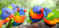 Australian rainbow lorikeets Royalty Free Stock Images