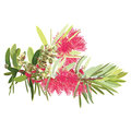 Australian Red Flowering Bottlebrush tree Royalty Free Stock Photo