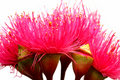 Australian Red Ironbark Flowers Stock Image