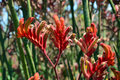 Australian Red Kangaroo Paw flowers Royalty Free Stock Photo