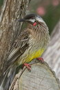 Australian red wattlebird honeyeater cheeky little sits on tree stump and poses for photographs photo taken at raaf museum point Stock Photo