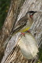 Australian red wattlebird honeyeater cheeky little sits on tree stump and poses for photographs photo taken at raaf museum point Stock Photography
