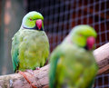 Australian ringneck parrots pair of in captivity Stock Photo