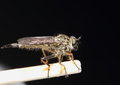 Australian robber fly macro of an sitting on a matchstick with a black paper background Royalty Free Stock Photo