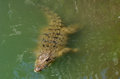 Australian salt water crocodile Royalty Free Stock Photo