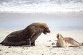 Australian sea lions (Neophoca cinerea) Royalty Free Stock Photo