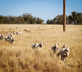 Australian Sheep Stock Images