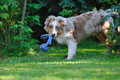 Australian shepard in the garden Stock Image