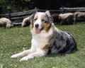 Australian sheperd in a field an shepherd dog keeping sheeps together grassy enclosure on sunny day lassie like attitude Royalty Free Stock Images