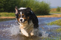 Australian Sheperd in water action Royalty Free Stock Photo