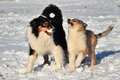 Australian shepherd and collie pup in the snow Stock Photo