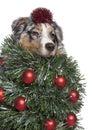 Australian Shepherd dog dressed as christmas tree Stock Photos