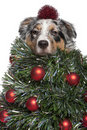 Australian Shepherd dog dressed as Christmas tree Stock Image