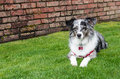 Australian shepherd dog on a green lawn laying with brick wall Stock Photo