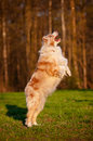 Australian shepherd dog jumps outdoors Stock Images