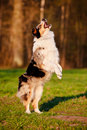 Australian shepherd dog jumps outdoors Stock Photography