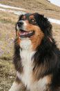 Australian shepherd dog in mountain Royalty Free Stock Photo