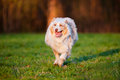 Australian shepherd dog running outdoors Stock Photo