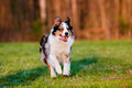 Australian shepherd dog running outdoors Royalty Free Stock Image