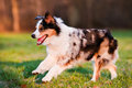 Australian shepherd dog running outdoors Stock Images