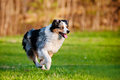 Australian shepherd dog running runs outdoors Stock Photos