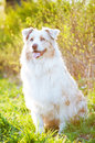 Australian shepherd dog in sunset light adorable Royalty Free Stock Photography