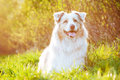 Australian shepherd dog in sunset light adorable Royalty Free Stock Images