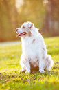 Australian shepherd dog in sunset light portrait outdoors Stock Image