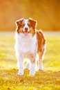 Australian shepherd dog in sunset light portrait outdoors Stock Photo