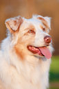 Australian shepherd dog in sunset light portrait outdoors Stock Photography