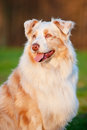 Australian shepherd dog in sunset light portrait outdoors Stock Images