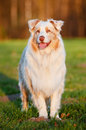 Australian shepherd dog in sunset light portrait outdoors Royalty Free Stock Photo