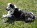 Australian shepherd dog white and black aussie enjoying a sunny day in the grass Royalty Free Stock Photography
