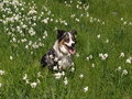 Australian Shepherd in Flowers Royalty Free Stock Images