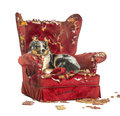 Australian shepherd lying on a detroyed armchair isolated white Royalty Free Stock Image