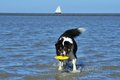 Australian shepherd playing frisbee dog ist in north sea Stock Photography