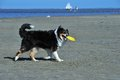 Australian shepherd playing frisbee dog ist at a strand Stock Images