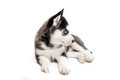 Australian shepherd pup portrait of cute blue merle puppy dog isolated on white background Stock Photo